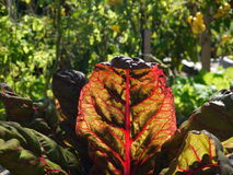Organic vegetable garden: sunlit red chard leaf Royalty Free Stock Photography