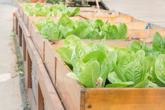 Organic vegetable growing in wooden box Stock Photography