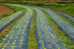 Vegetabe Garden. Organic vegetable growth in garden Stock Images