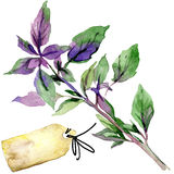 Organic vegetable oregano purple. watercolor illustration Royalty Free Stock Image