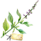 Organic vegetable oregano . watercolor illustration Stock Photos
