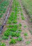 Organic vegetable plots Stock Photos