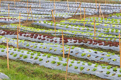 Organic vegetable plots. In a field Royalty Free Stock Image