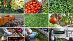 Organic Vegetable Production-Multi Screen. Growing and production of different types of vegetables,edited video clips in one multi-screen stock footage