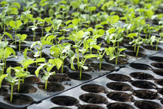 Organic vegetable seedlings stock image