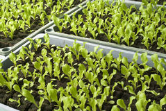Organic vegetable seedlings Royalty Free Stock Photo
