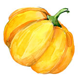 Organic vegetable yellow squash. watercolor illustration Royalty Free Stock Images
