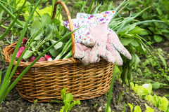 Organic vegetables basket.Gardening Stock Photography