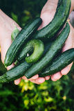 Organic Vegetables - Cucumbers Stock Photography