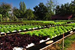 Organic vegetables farm Royalty Free Stock Images
