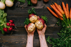 Organic vegetables. Farmer`s hands holding harvested swede on the dark wooden background, top view Stock Photography
