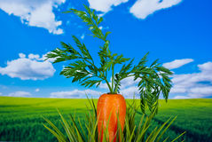Organic Vegetables Royalty Free Stock Image
