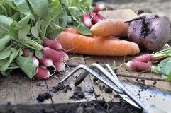 Organic vegetables from garden. Fresh vegetables harvesting and put on a plank with gardening tools Stock Images