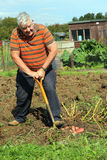 Organic vegetables gardening. A happy man digging his organic potatoes from his garden to supply his family with healthy food. His hobby is gardening and he Royalty Free Stock Photos