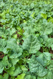 Organic vegetables growing Royalty Free Stock Photography