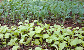 Organic vegetables growing Royalty Free Stock Images