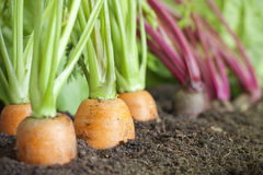 Organic vegetables growing in the garden Stock Photo