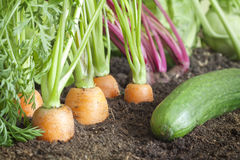 Organic vegetables growing in the garden Royalty Free Stock Image
