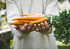 Fsrmer with Fresh carrots. Organic vegetables. Healthy food. Fresh organic carrots in farmers hands stock image