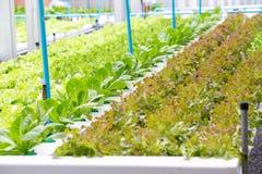 Organic Vegetables in organic  farm. Vegetable farm, Water springier, spray watering to hydroponics organic vegetable farm.  royalty free stock image