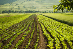 Organic vegetables plantation field Royalty Free Stock Images