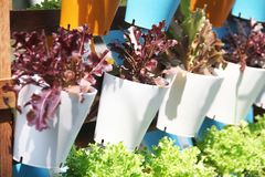 Organic vegetables in plastic boxes. Red oak vegetable salad in the organic nature in the garden stock photos