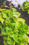 Organic vegetables in winter Stock Photography