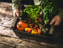 Organic vegetables on wood. Farmer holding harvested vegetables. Rustic setting Stock Photos