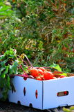 Organic veggies. Stock Image