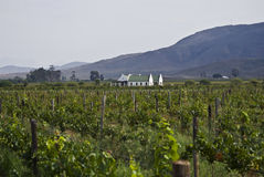 Organic Vineyard & Farmhouse - Wider Angle. Vineyard farmhouse in it's distinctive Cape Dutch style architecture. View from the middle of the vineyard. Nestled royalty free stock photography