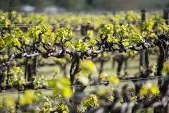Organic vineyard in McLaren Vale, Australia. Chardonnay grape arms on trellis in organic vineyard in McLaren Vale, Australia royalty free stock images