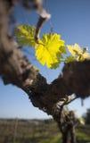Organic vineyard in McLaren Vale, Australia. Chardonnay grape leaf in organic vineyard in McLaren Vale, Australia stock photo