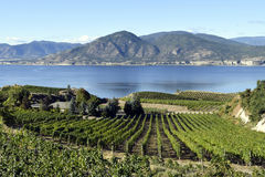Organic Vineyard Naramata Okanagan Valley British Columbia. Vineyard overlooking Okanagan Lake in Naramata, British Columbia, Canada. Naramata is near Penticton Royalty Free Stock Image