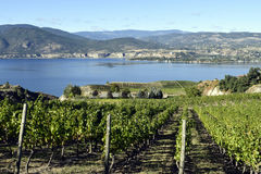 Organic Vineyard Naramata Okanagan Valley British Columbia. Vineyard overlooking Okanagan Lake in Naramata, British Columbia, Canada. Naramata is near Penticton Stock Image