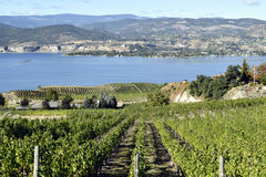 Organic Vineyard Naramata Okanagan Valley British Columbia. Vineyard overlooking Okanagan Lake in Naramata, British Columbia, Canada. Naramata is near Penticton Royalty Free Stock Photography
