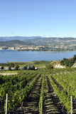 Organic Vineyard Naramata Okanagan Valley British Columbia. Vineyard overlooking Okanagan Lake in Naramata, British Columbia, Canada. Naramata is near Penticton Stock Photo