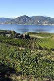 Organic Vineyard Naramata Okanagan Valley British Columbia. Vineyard overlooking Okanagan Lake in Naramata, British Columbia, Canada. Naramata is near Penticton Royalty Free Stock Photo