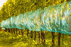 Organic vineyard in The Netherlands Stock Photo