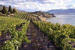 Organic Vineyard Winery Royalty Free Stock Photo