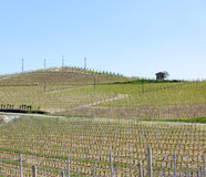 Organic vineyards in Italy. Spring season, sunny day. Vine yards Stock Photos