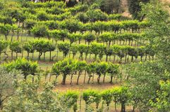 Organic vineyards in Tuscany , Italy Royalty Free Stock Images