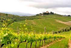 Organic vineyards in Tuscany , Italy Royalty Free Stock Photography