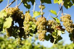 Organic Viognier Grape Okanagan Valley Stock Photo
