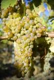 Organic Viognier Grapes Stock Image