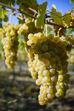 Organic Viognier Grapes Royalty Free Stock Photography