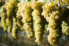Organic Viognier Grapes Stock Photos