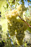 Organic Viognier Grapes Stock Images