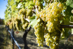 Organic Viognier Grapes Royalty Free Stock Images