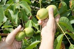 A organic walnut Royalty Free Stock Image