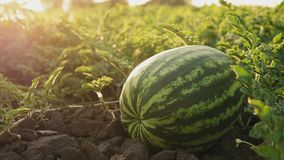 Organic watermelons on the ground close-up. Watermelon field ready for harvest stock footage